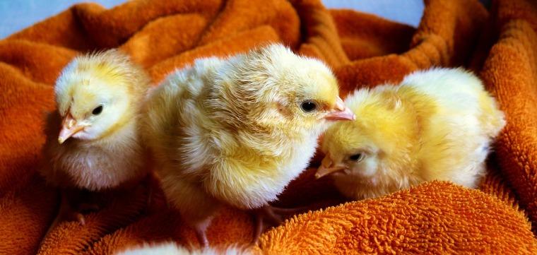 chicks-573377_1920